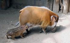 Hog family 06
