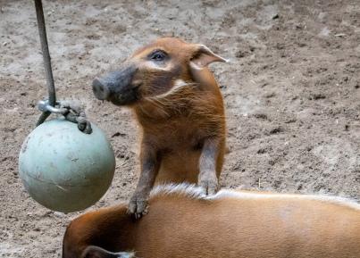 Hogs DD