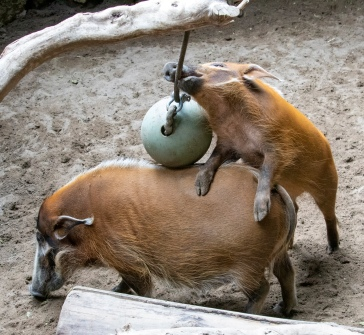Hogs FF