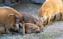Red river hogs 01