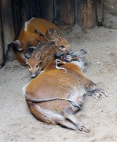 Red river hogs 04
