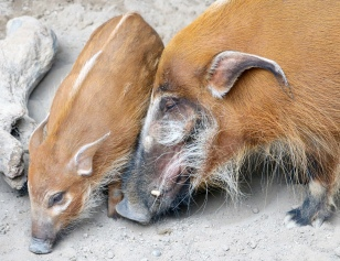 Red river hogs 06 calendar