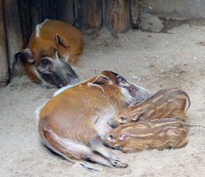Red river hogs 06