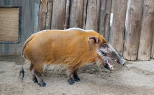 Red river hogs 09