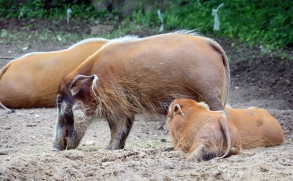 Red river hogs 1