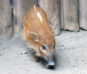 Red river hogs 12 (2)