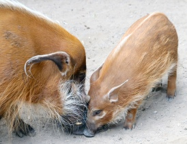 Red river hogs 13
