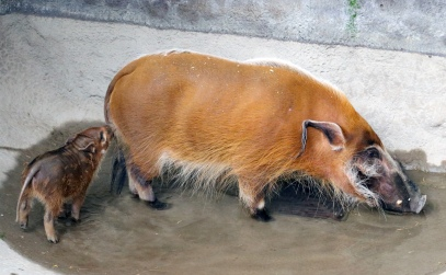 Red river hogs 15