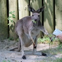 Kangaroo Wild Encounter 06
